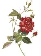 RoseNthorn